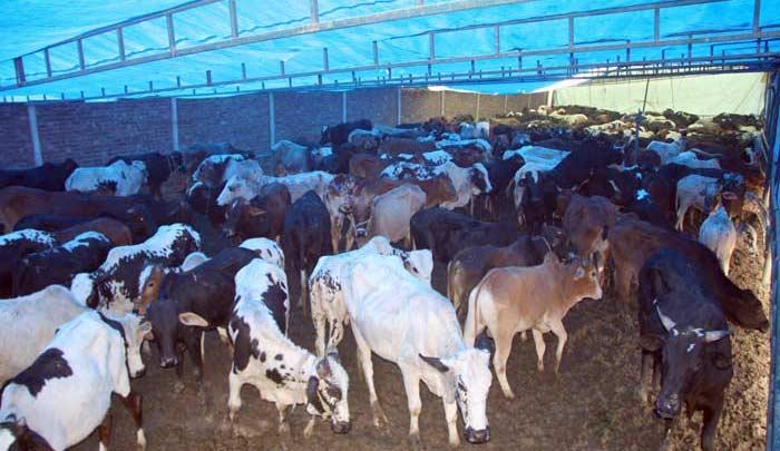 Collective sacrifice 2009 under Minhaj Welfare Foundation ...Qurbani Cow 2009