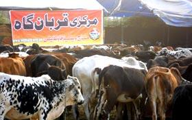منہاج ویلفیئر فاؤنڈیشن کے تحت اجتماعی قربانی 2011ء کی ابتدائی رپورٹ